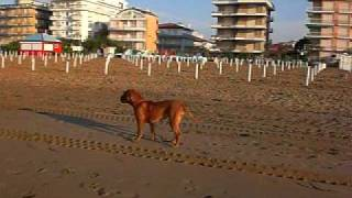 Dogue De Bordeaux Attacks A Runner On The Beach