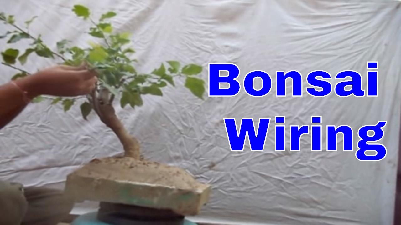 how to bougainvillea bonsai wiring mammal bonsai youtube rh youtube com Bonsai Wiring Tips Bonsai Wiring Tips