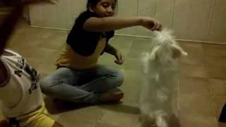 ██ White Shih Tzu Maltese Puppy Playing Tricks ██