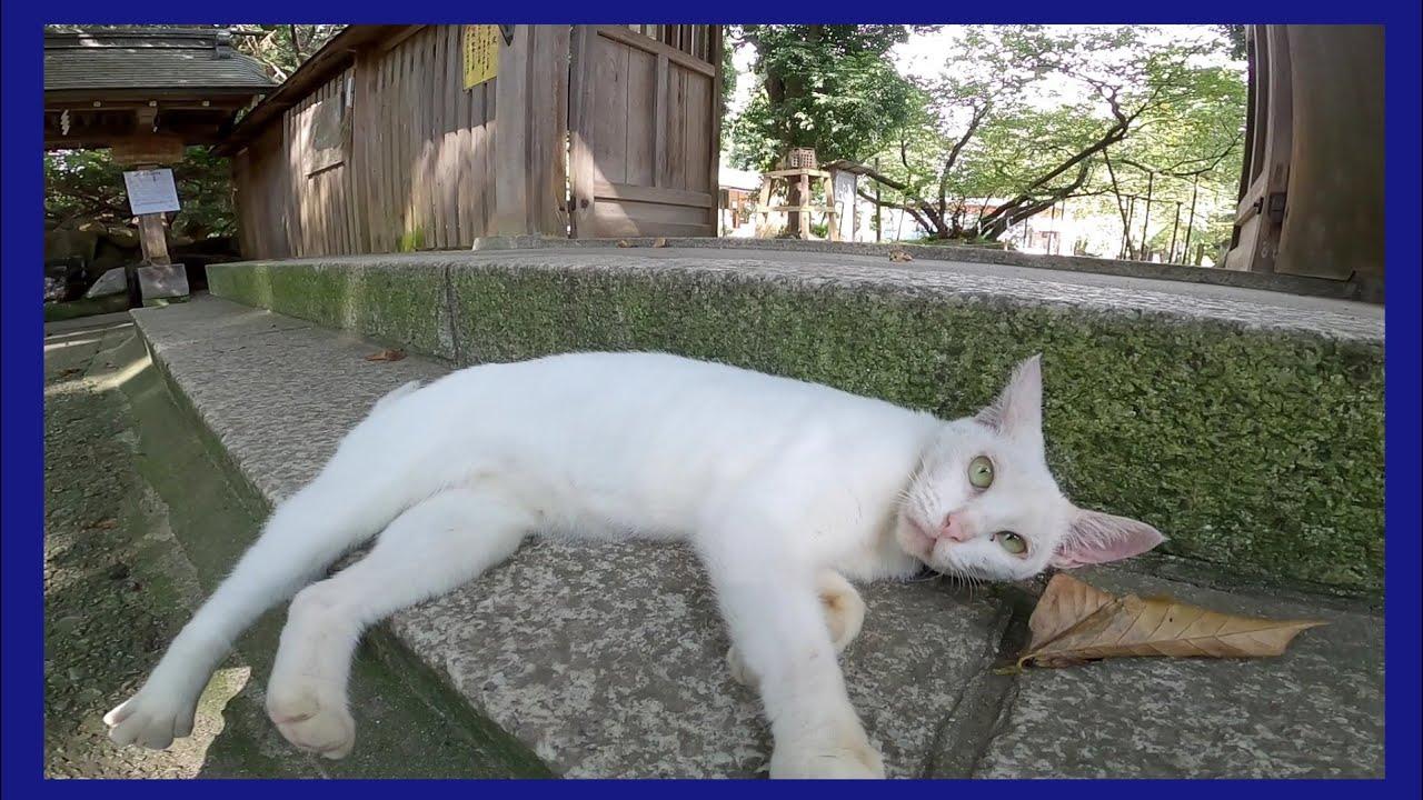 神社で出会った白猫ちゃん、ナデナデすると門の前まで付いてきてカワイイ