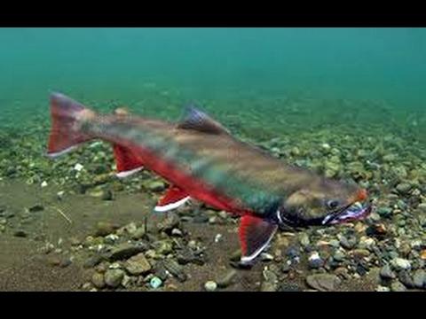 Arctic char fishing in Norway Finnmark