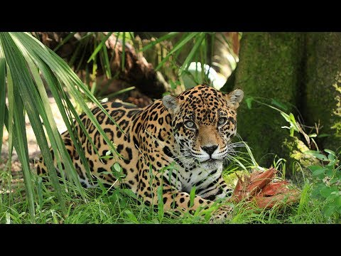 Species Spotlight: The Jaguar