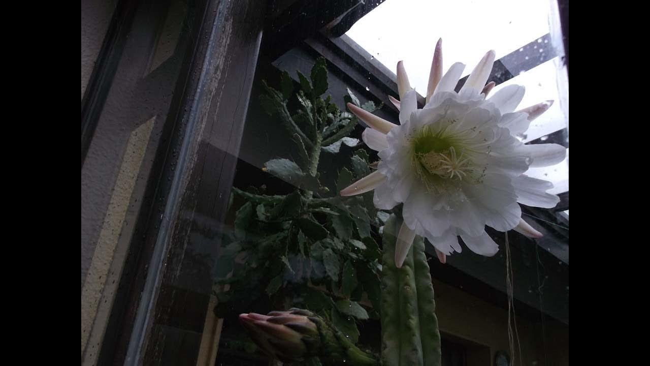My trichocereus scopulicola cactus plant in big white heavenly my trichocereus scopulicola cactus plant in big white heavenly flower mightylinksfo