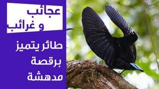 عجائب و غرائب   طائر يتميز برقصة مدهشة
