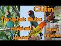Masteran Mix Suara Panggilan Ngetik Lovebird Dipadu Suara Kapas Tembak Cililin Tengkek Buto Ngekek(.mp3 .mp4) Mp3 - Mp4 Download
