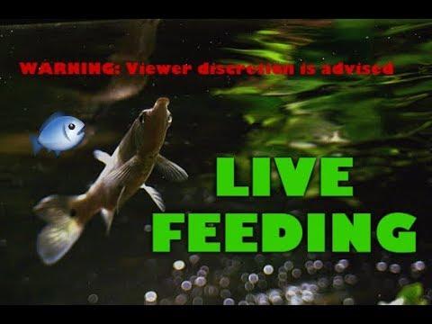 Hujeta Gar LIVE FEEDING