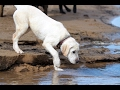 Labrador Retriever Puppy - Training Overview