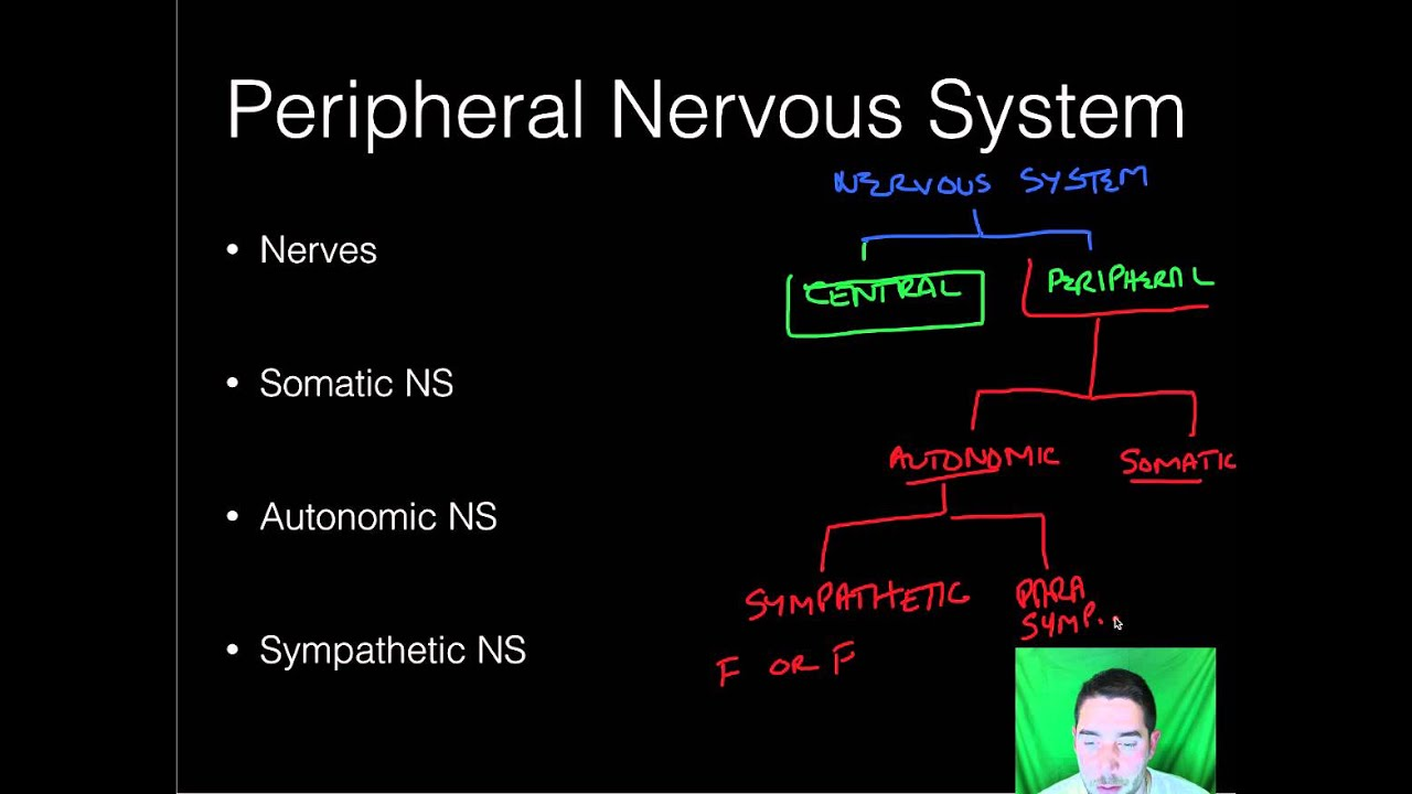 AP Psychology - Biopsych - Part 4 - Nervous System - YouTube