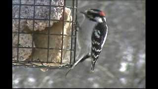 Wild Birds Coloring Book And Dvd- Downy Woodpecker