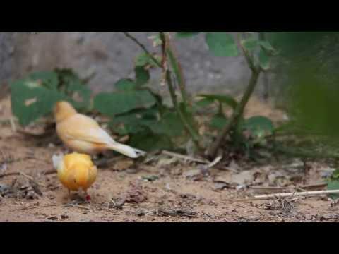 طيور الزينة  HD