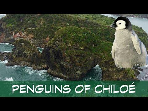 PENGUINS OF CHILOÉ ISLAND IN CHILE (S3E6) HD