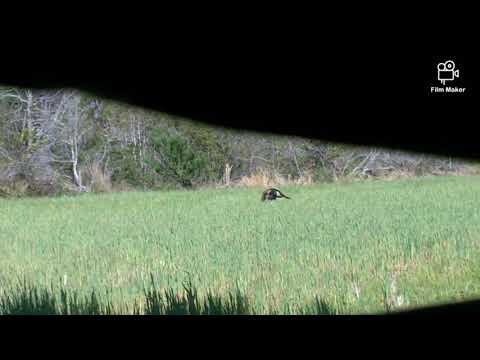 Turkey Hunting North Carolina Public Land 2020 Opening Day!