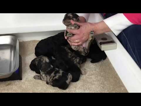 Glory's schnoodle puppies 102118. eyes are open 16 days old