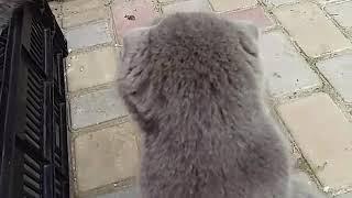 Отдаю  котят шотландской вислоухой  Харьков  Дергачи