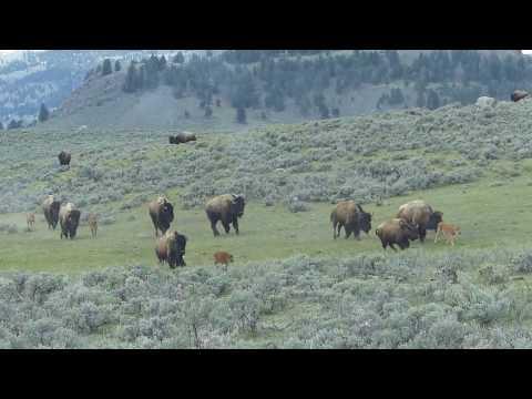 Yellowstone's Running of the Calves