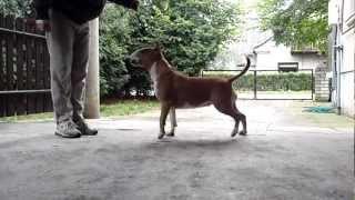 Bullterrier Show Training (1)