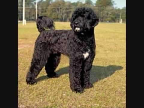 Dog Breeds-Portuguese Water Dog