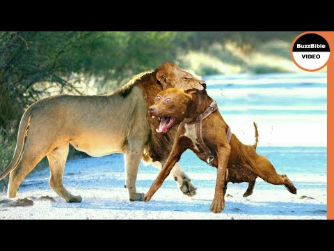 When Dogs Dare To Attack Lions !! Real Fights Between Dogs And Predators
