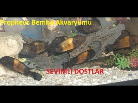 TROPHEUS BEMBA AKVARYUMU NASIL OLMALIDIR(cichlids colony)