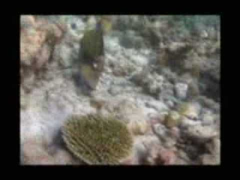 Triggerfish on Maldives Reef