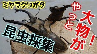 【昆虫採集】 クワガタ採集 カブトムシ採集 2017年7月22日 【insect collecting】