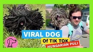✅ VIRAL DOG of TIK TOK HUNGARIAN PULI