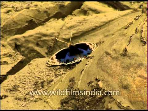 Blue Pansy male or Junonia orithya butterfly sitting on sand