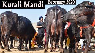 Murrah buffalo | Kurali Mandi 05 Feb 2020
