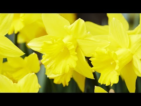 """Peaceful music, Relaxing music, Instrumental music """"Daffodils"""" by Tim Janis"""
