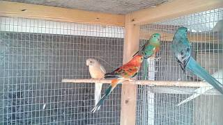 Young Red-rumped Parakeets