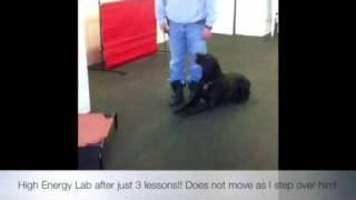 High Energy Lab After 3 Lessons! K9 Training, Virginia