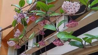 FLOR DE CERA (Hoya carnosa )