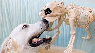 dog-vs-dog-skeleton-prank-funny-golden-retriever-bailey