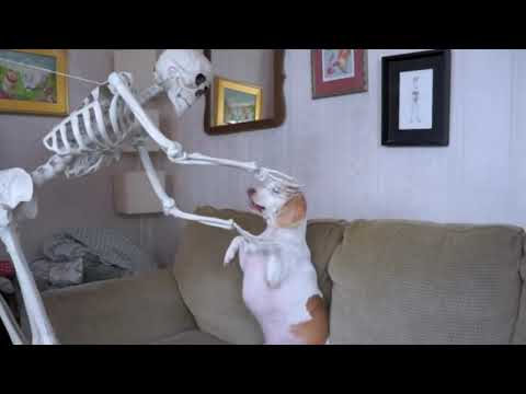 Skeleton vs Dog - Halloween Prank   Funniest Video