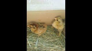 Из одного яйца вылупилось 2 цыпленка!