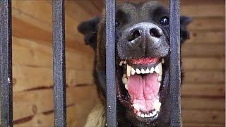 МАШИНА ДЛЯ УБИЙСТВ.Killing Machine.Бельгийская овчарка. Belgian Shepherd Dog.Odessa.(Бельгийская овчарка выполняет команду