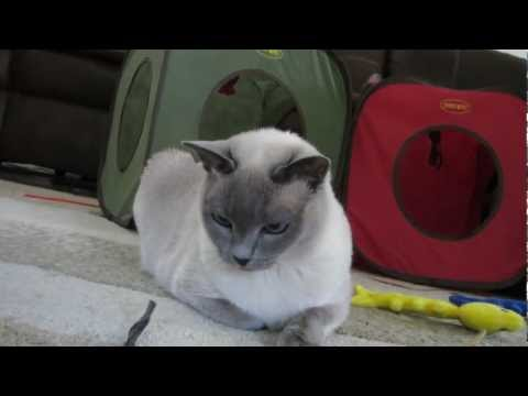 Blue Point Tonkinese Blue Eye Color [HD]