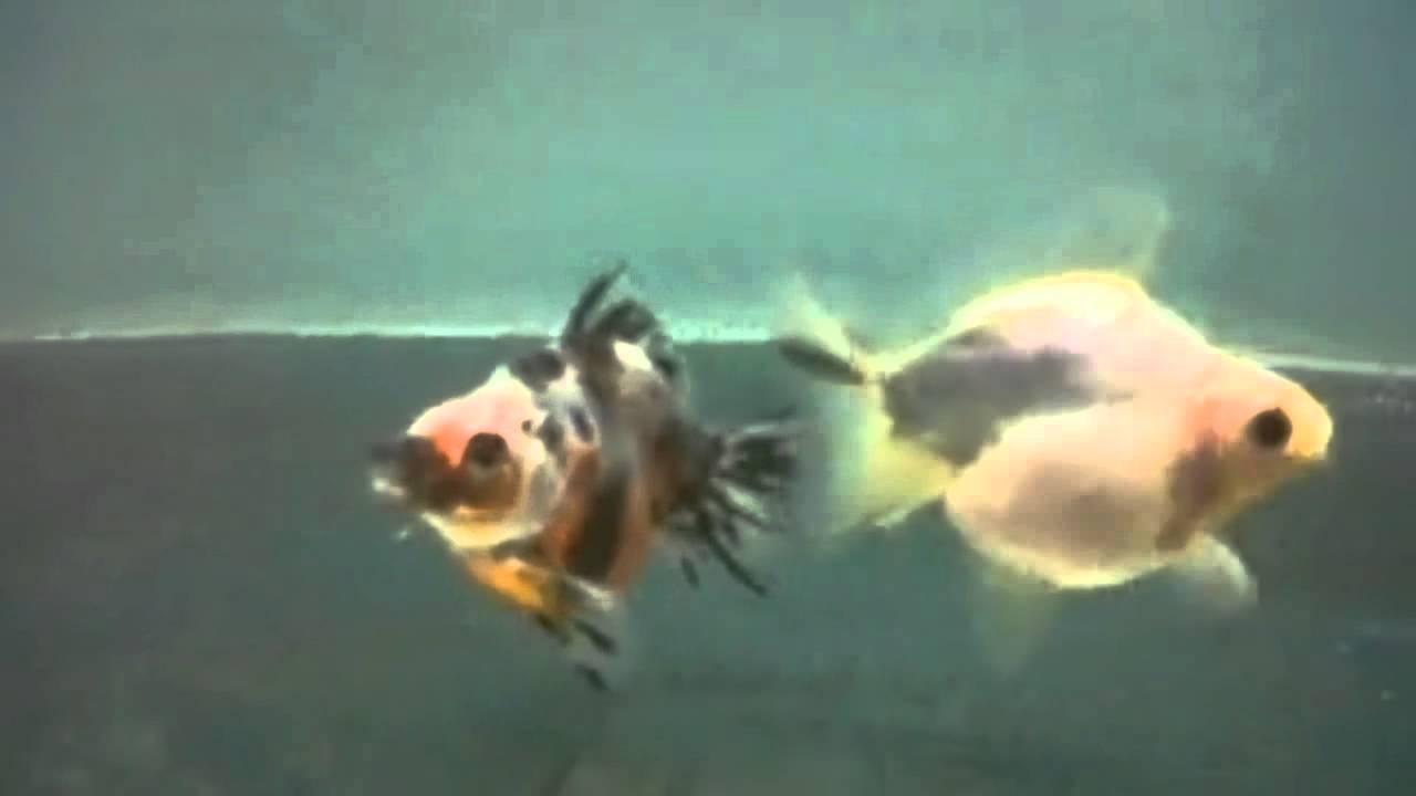 Ikan Mas Koki Jenis Show Class Burik - YouTube