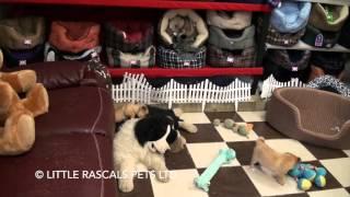 Little Rascals Uk Breeders New Litter Of Jug Puppies - Puppies For Sale 2016