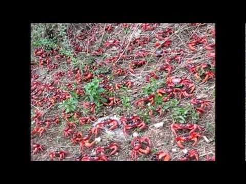 Red Crab Migration on Christmas Island - YouTube