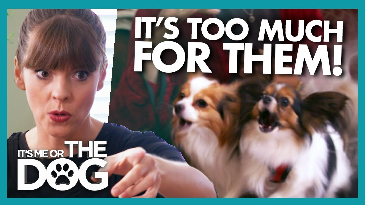 Spoiled Dogs With Bite History Need to Learn to Love People! | It's Me or The Dog