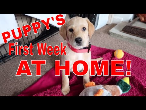 8 WEEKS GOLDEN LABRADOR PUPPY! THE FIRST WEEK AT HOME!