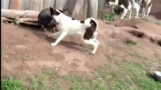 Притравка ВС лаек щенков по вьетнамской свинке