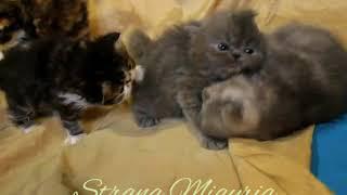 Персидские котята из питомника Страна Мяурия.  Сайт в  ВК    .