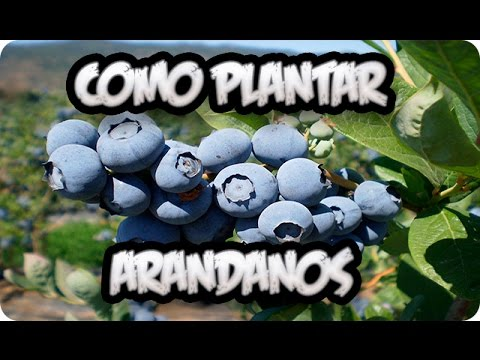 como plantar arandanos en el huerto || la huertina de toni - youtube