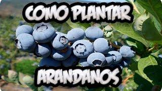 Como Plantar Arandanos En El Huerto || La Huertina De Toni