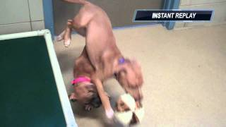 Boxer American Pit Bull Terrier Puppies Available For Adoption At The Wisconsin Humane Society