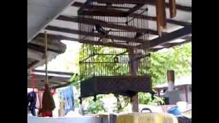 Kacer Gacor PSSM Jawa Barat
