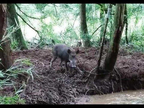 イノシシ 猪 有害駆除 くくり罠 捕獲 Japanese Wild Boar 2017 08 27