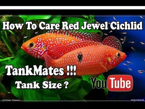 How To Care Red Jewel Cichlid | Tank Mates | Tank Size !!! Urdu/Hindi